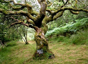 crinan_wood_druid_tree2